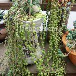 Kaktus Tasbih Senecio