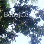 Pohon Alkesa Kian Langka