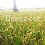 Sentra Padi Di Kecamatan Cariu, Kabupaten Bogor