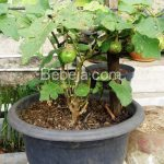 Bertanam Terung Hijau Di Pot