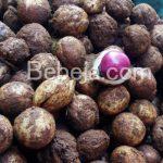 Kacang Bogor Sumber Pangan Alternatif