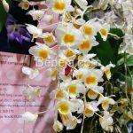 Senyawa Bibenzyl Anggrek Dendrobium