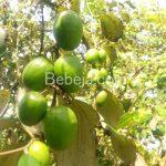 Berkebun Putsa Si Apel India