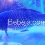 Ikan Mas Marwana