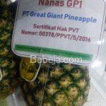 Nanas GP1 PT Great Giant Pineapple