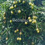 Keunggulan Buah Limus