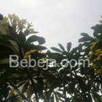 Kamboja Kuning Bali