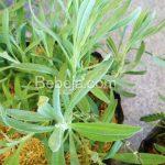 Minyak Asiri Rosemary