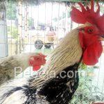 Ayam Gaok Penyanyi Pulau Garam