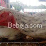 Ayam Sentul Terseleksi (SenSi)