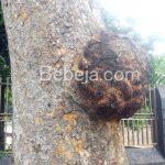 Kanker Batang Pohon