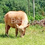 Musabab Kerbau Albino