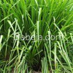 Rumput Paspalum Tahan Genangan