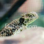 Tanduk Horned Lizard