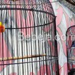 Beternak Burung Lovebird